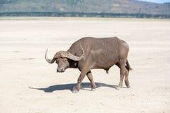 Dziki Afrykański Bizon Kenja, Afryka Zdjęcie Royalty Free