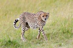 dziki afrykański gepard Obraz Stock