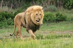 Dziki afrykański lew Zdjęcia Stock