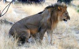 Dziki afrykański lew Masai Mara rezerwa w Kenja Fotografia Stock