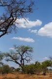 Dziki afrykanina krajobraz, Chobe park narodowy Fotografia Royalty Free