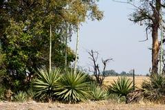 Dziki afrykanina krajobraz, Chobe park narodowy Zdjęcie Stock