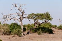 Dziki afrykanina krajobraz, Chobe park narodowy Obraz Royalty Free