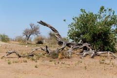 Dziki afrykanina krajobraz, Chobe park narodowy Fotografia Stock