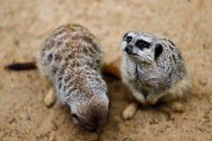 Dziki afrykanina Meerkat Suricata suricatta patrzeje i ogląda, Zdjęcie Stock