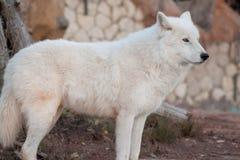 Dziki alaski tundrowy wilk patrzeje jego zdobycza Canis lupus arctos Biegunowy wilk lub biały wilk zdjęcie royalty free