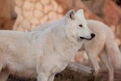 Dziki alaski tundrowy wilk patrzeje jego zdobycza Canis lupus arctos Biegunowy wilk lub biały wilk zdjęcia stock
