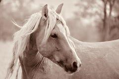 Dziki Amerykański mustanga ogiera Palomino krzyż fotografia royalty free