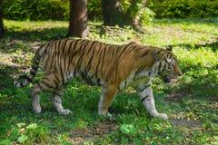 Dziki Amur tygrys w lesie Obraz Royalty Free