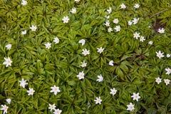 Dziki anemon, windflowers, thimbleweed Anemonowy nemorosa kwitnie w lesie obrazy royalty free