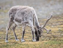 Dziki Arktyczny renifer Obrazy Stock