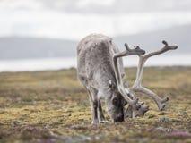 Dziki Arktyczny renifer Fotografia Royalty Free