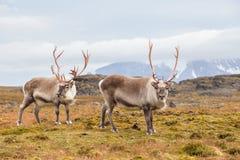 Dziki Arktyczny renifer w naturalnym siedlisku Zdjęcie Stock