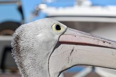 Dziki Australijski pelikana zbliżenia głowy profil obraz royalty free