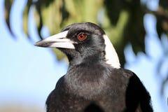 Dziki Australijskiej sroki górny ciało fotografia stock