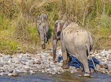 dziki azjatykci słoń obrazy stock