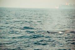 Dziki błękitnego wieloryba dopłynięcie w oceanie indyjskim Przyrody natury tło Przestrzeń dla teksta Przygody Turystyka Podróży w Zdjęcie Royalty Free