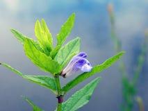 dziki błękitny kwiat obrazy stock