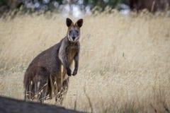Dziki bagna Wallaby, lasy Parkuje, Wiktoria, Australia, Luty 2017 zdjęcia royalty free