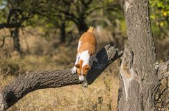 Dziki Basenji pies skacze daleko od łamanego drzewa zdjęcia stock