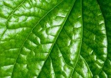 Dziki betel Leafbush Zdjęcia Stock