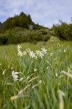 Dziki biały daffodil pole narcyz zdjęcia stock
