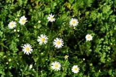 Dziki Biały Daisys w naturze Zdjęcie Royalty Free
