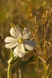 Dziki biały kwiat Zdjęcia Royalty Free