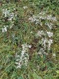 Dziki biel Bunching kwiaty w naturze zdjęcie stock