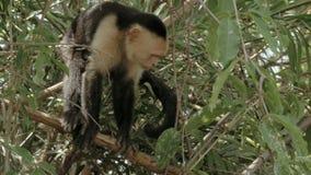 Dziki biel stawiająca czoło małpa zbiory