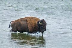 Dziki bizon krzyżuje rzekę Zdjęcie Royalty Free