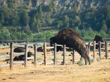 Dziki bizon, żubr, Skacze ogrodzenie Fotografia Royalty Free