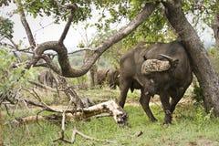 Dziki bizon w krzaku, Kruger park narodowy, POŁUDNIOWA AFRYKA Obraz Royalty Free