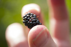 Dziki Blackberry podnosił obrazy stock