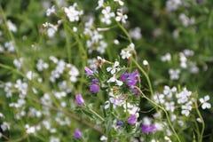 Dziki ble i biali kwiaty z defocused tłem Zdjęcia Stock