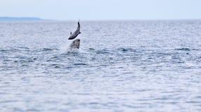 Dziki bottlenose delfinu tursiops truncatus fotografia royalty free
