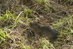 Dziki Brazylijski dziecko królik doświadczalny Obraz Stock