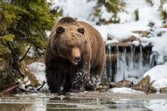 Dziki brown niedźwiedź blisko lasowego jeziora Zdjęcie Royalty Free