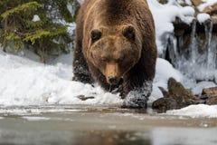 Dziki brown niedźwiedź blisko lasowego jeziora Zdjęcia Stock