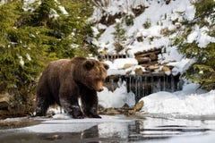 Dziki brown niedźwiedź blisko lasowego jeziora Zdjęcia Royalty Free