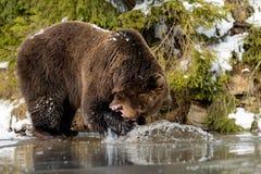 Dziki brown niedźwiedź blisko lasowego jeziora Fotografia Royalty Free