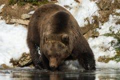 Dziki brown niedźwiedź blisko lasowego jeziora Obrazy Royalty Free