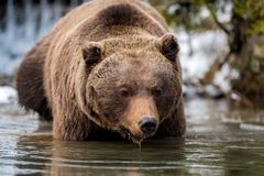 Dziki brown niedźwiedź blisko lasowego jeziora Obraz Royalty Free