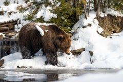 Dziki brown niedźwiedź blisko lasowego jeziora Obraz Stock