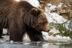 Dziki brown niedźwiedź blisko lasowego jeziora Zdjęcie Stock