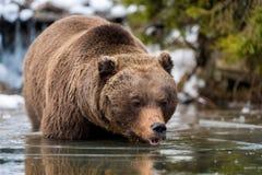 Dziki brown niedźwiedź blisko lasowego jeziora Obrazy Stock