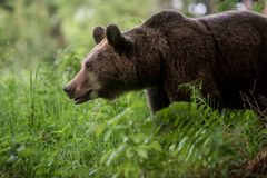 Dziki Brown niedźwiedzia ursus Arctos Zdjęcie Royalty Free