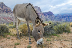 Dziki burro Fotografia Royalty Free