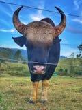 dziki byk zdjęcie stock