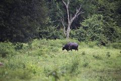 Dziki byk żywy w głębokim lesie Obrazy Royalty Free